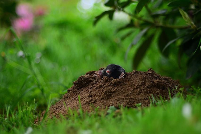 Niektóre zwierzęta są niemile widziane w ogrodach....