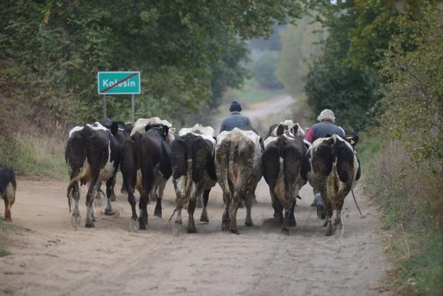 Ministerstwo Rolnictwa: Będą umorzenia kar za przekroczenie kwot mlecznychW Ministerstwie Rolnictwa i Rozwoju Wsi (MRiRW) opracowany został projekt uchwały Rady Ministrów w sprawie ustanowienia programu pomocy dla producentów mleka