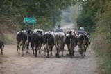 Ministerstwo Rolnictwa: Będą umorzenia kar za przekroczenie kwot mlecznych