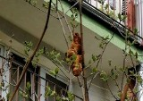 Kraków. Lagun na drzewie, pluszowy tygrys w małej klatce. Zabawne interwencje inspektorów KTOZ