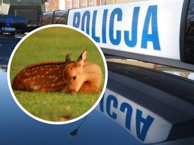 Policjanci z wydziału ruchu drogowego z Grudziądza ratowali ranną sarenkę