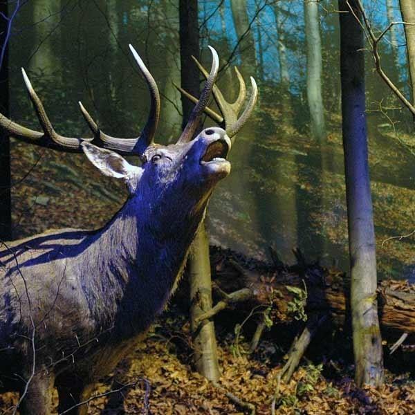 Rykowisko jeleni w muzeum MPN w Krempnej.
