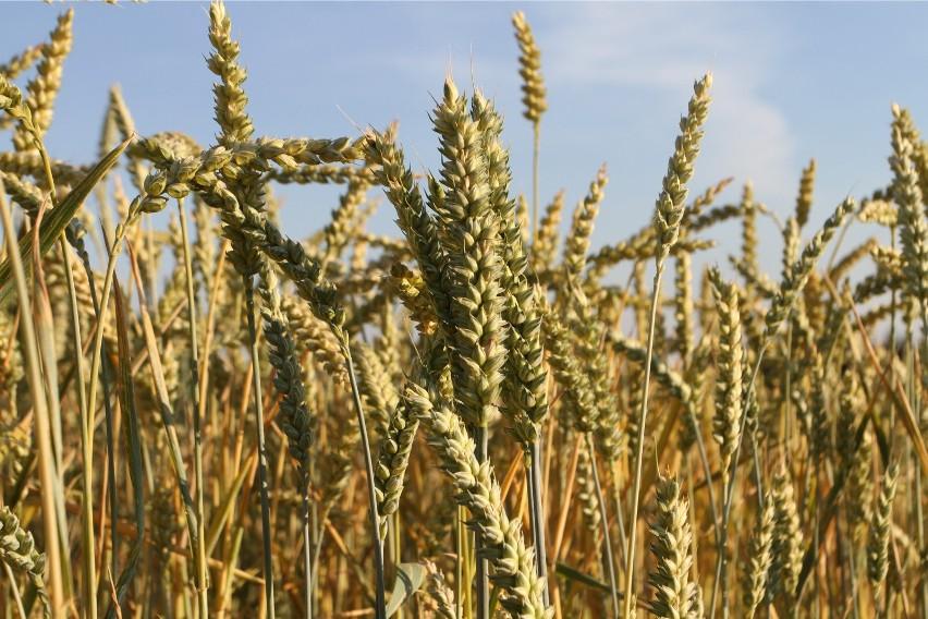 Według szacunków ekspertów we wrześniu cena pszenicy...