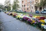 Setki chryzantem pod siedzibą PiS w Krakowie. Kwiaty są tam od weekendu