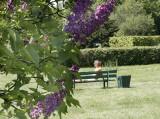 Lecznicze właściwości kwitnących teraz kwiatów lilaków