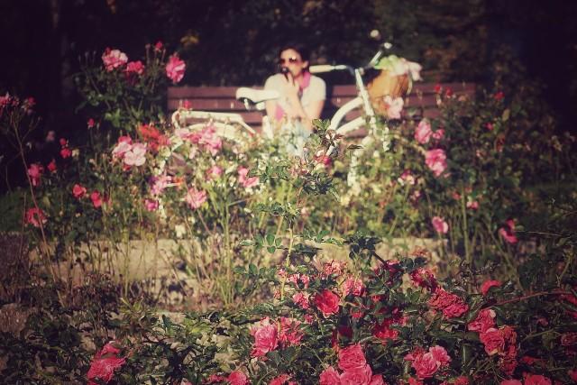 Rosarium w Parku Śląskim wygląda teraz bardzo efektownie. Zachęca do spacerów.