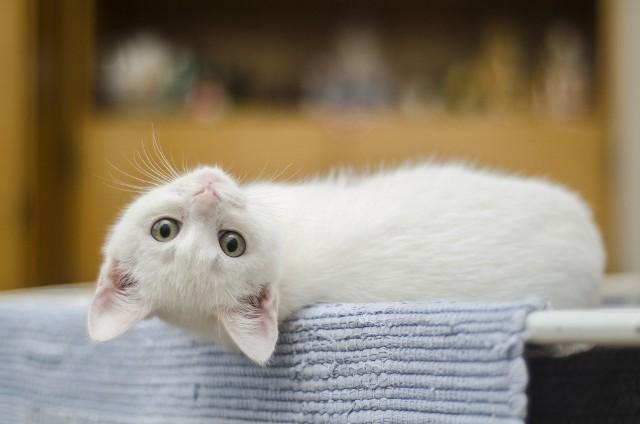 W Polsce dzień kota obchodzony jest 17 lutego. Z tej okazji zobacz 14 ciekawostek na ich temat: jak długo żył rekordzista wśród kotów? której łapy najczęściej używają - prawej czy lewej? ile godzin śpią na dobę? Sprawdź ---->