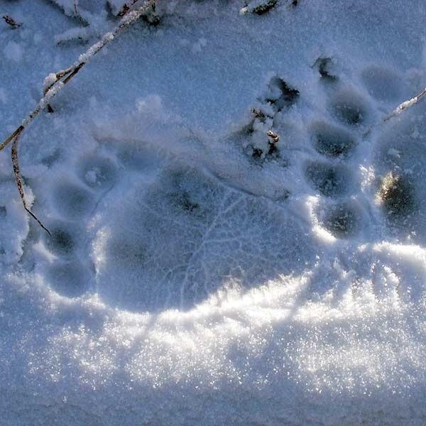 Ślady niedźwiedzich łap na śniegu