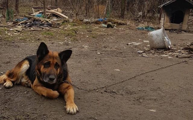 Pies tarfił  do Tarnowskiego Azylu  i pod opiekę weterynarza. Zwierzę do czasu wyroku sądowego nie może zostać adoptowane, a jedynie przebywać w domu tymczasowym, którego Animalsi szukają dla zwierzęcia