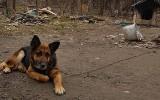 Gmina Wierzchosławice. Inspektorzy OTOZ Animals i policja odebrali psa właścicielom. Zwierzęciu łańcuch wrósł w szyję