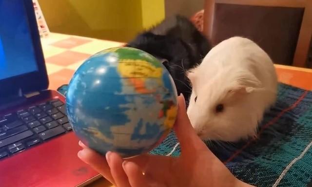 W czasie lekcji pani Marta do nauczania wykorzystuje mapy, globusy i prezentacje pokazywane na laptopie, w których główne role odgrywają oczywiście Leoś i Sobieś, dwie urocze świnki, które na ekranie wędrują po kontynentach, równiku i południku zero albo… bawią się ze sobą w chowanego na mapie świata, ucząc przy okazji odczytywania współrzędnych geograficznych. Zobacz więcej zdjęć --->