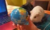 Nauczycielka z Poznania prowadzi lekcje geografii online razem ze swoimi świnkami morskimi [WIDEO]