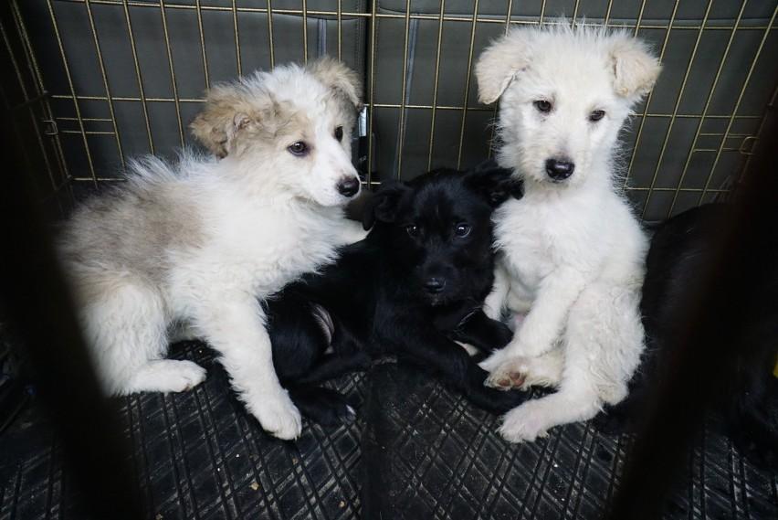 Co dalej z psami odebranymi Romom?