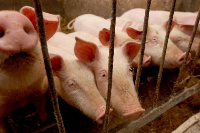 - W regionach występowania ASF obserwuje się stopniowy spadek liczby gospodarstw utrzymujących świnie, ponieważ nie każde gospodarstwo posiada warunki, żeby sprostać wymogom bioasekuracji - stwierdza zastępca powiatowego lekarza weterynarii Małgorzata Matysek.