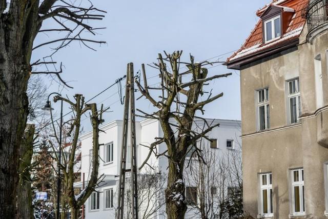 Ogłowione drzewa na ulicy Liczmańskiego w Gdańsku Oliwie