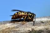 Uwaga, niebezpieczne owady! Ich ugryzienie może powodować ból i groźne choroby. Są szczególnie groźne dla alergików