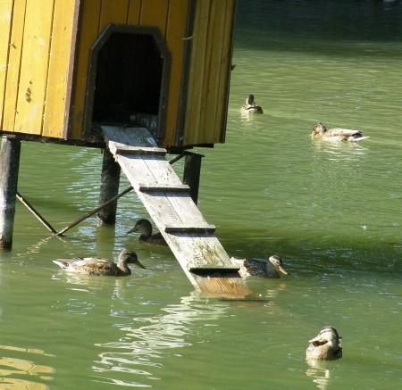 Nad stawami w parku zdechło już ponad 50 kaczek. Zakaz dokarmiania ma uratować te, które pozostały.