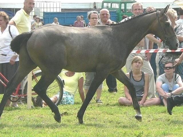 """""""Best in show"""" - najpiękniejszy koń pokazu w całej okazałości. Tytuł Superchampiona 2011 zdobył ogier Monte Christo."""