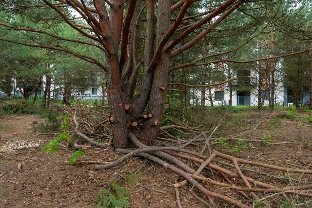 Po 20 latach z samosiejek mogą wyrosnąć spore drzewka