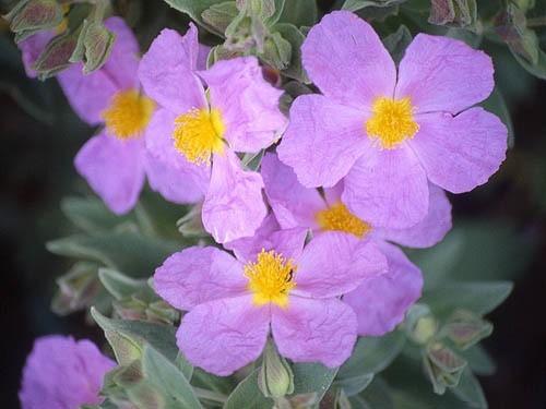 Spośród wszystkich gatunków czystka dla człowieka najbardziej wartościowy jest Cistus incanus L. Stosowany jako herbatka zaparzona z liści ma on najmocniejsze działanie.