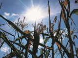Upał spalił plony. Rolnicy szukają ulgi