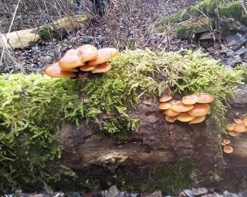 To jeden z jadalnych gatunków grzybów, które w Polsce można zbierać zimą. Płomienice zimowe rosną m.in. na pniach drzew, których sporo jest nad Wisłą.