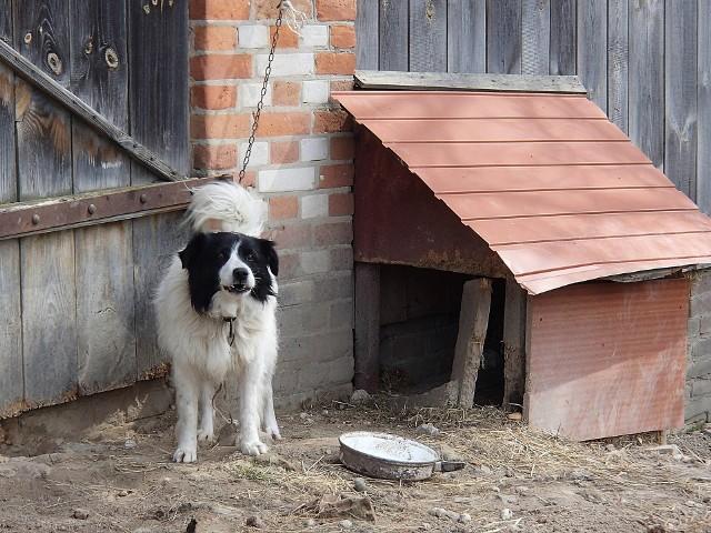 Trzymanie psa na łańcuchu będzie niezgodne z prawem