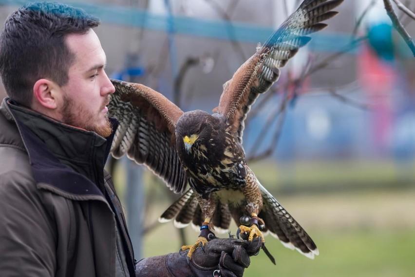 Drapieżne ptaki (jastrzębie i sokoły) pilnują m.in. lotniska na warszawskim Okęciu. Odstraszają mewy, wrony i gołębie