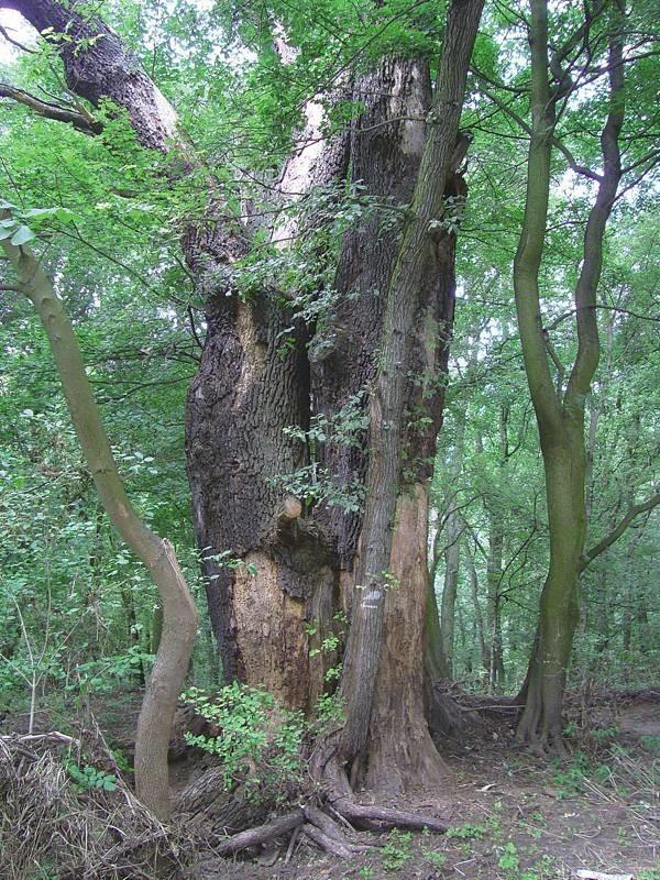 W nadodrzańskich lasach można spotkać pomnikowe dęby. To niekwestionowani królowie naszych borów.