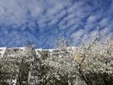 Morena idzie do ślubu, czyli spacer po gdańskim osiedlu szlakiem kwitnących drzew. Czy jest drugie takie miejsce? Zobacz zdjęcia!