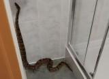 Pyton w Poznaniu! Olbrzymi wąż wił się w hotelowej toalecie. Zobacz zdjęcia