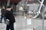 W Targach Kielce odbywa się Krajowa wystawa przepięknych gołębi, królików i ptactwa ozdobnego. Nie zwlekaj przyjdź razem z dziećmi [ZDJĘCIA]