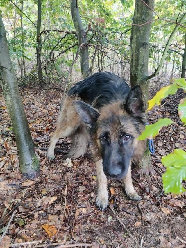 Policja szuka właściciela psa porzuconego w lesie w okolicach Drezdenka.