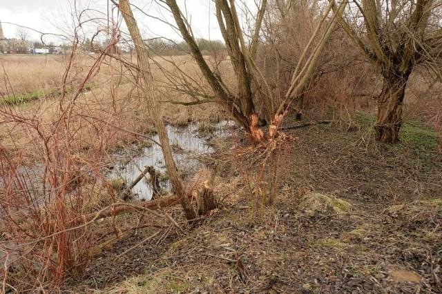 Bobry w BiałymstokuBobry w pobliżu ul. Branickiego i Miłosza