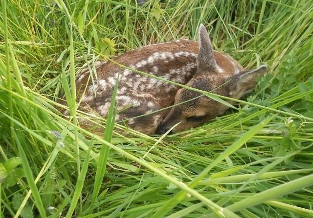 Zbliżanie się kosiarki nie płoszy młodych sarenek, gdy leżą w trawie - wtedy ratują się przytulając do gruntu (ich obroną jest bezruch) i giną w drastyczny sposób