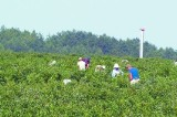 Sady i plantacje ogrodnicze w regionie radomskim czekają na pracowników. Ile można zarobić?
