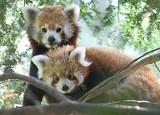 Zoo w Görlitz opłakuje utratę samicy pandy czerwonej Nimy. To była ulubienica gości