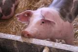 """""""Jeszcze rok i przez ASF skończy się produkcja świń!"""". Ceny żywca wieprzowego pod koniec 2019 roku"""