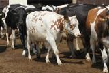 Mleczne rekordy - zobacz, gdzie padły. Właścicielem jednej z krów - rekordzistek jest podlaski rolnik