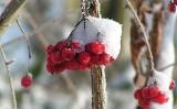 Krzewy ozdobne pełne kolorów przez cały rok. Jak mieć kolorowy ogród nawet zimą?