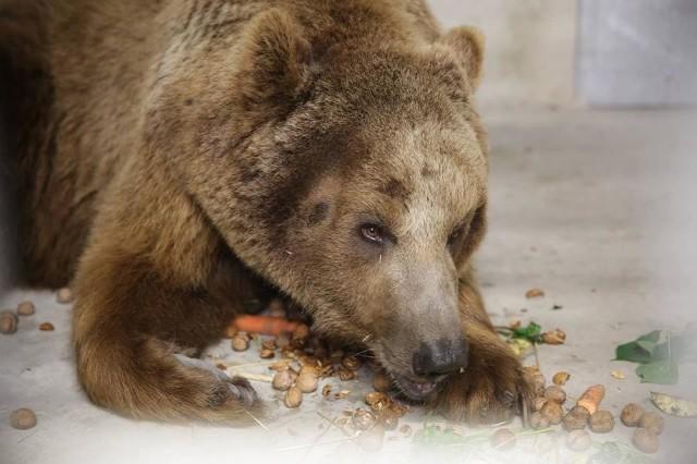 Okaleczony niedźwiedź jest już w poznańskim zoo