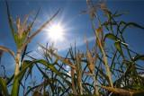 Komisje ds. szacowania strat suszowych jeszcze  pracują. To przez kukurydzę