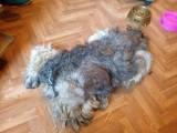 Gniezno: Odebrali właścicielowi psa przez... sierść [ZDJĘCIA]