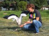 Opolskie bociany polecą do Afryki z GPS-em