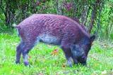 Podlaskie. Afrykański pomór świń zaszkodzi gospodarce