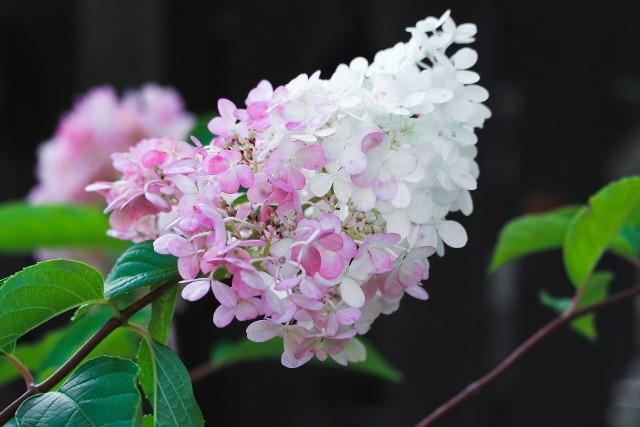 Hortensje są coraz bardziej popularne i trudno się temu dziwić, bo to wyjątkowo piękne krzewy. Co sezon też pojawiają się nowe odmiany, różniące się wielkością czy kolorem kwiatów. Ale warto wiedzieć, że jest kilkanaście podstawowych gatunków hortensji.To ważne, bo różnią się one znacznie wymaganiami dotyczącymi np. przycinania czy zimowania. Nie wiedząc, jaki gatunek hortensji mamy i nieodpowiednio ją pielęgnując, możemy nawet przez lata nie doczekać się kwiatów. Dlatego warto ustalić, jaki gatunek hortensji jest w naszym ogrodzie.Przedstawiamy pięć popularnych gatunków hortensji, ich najważniejsze wymagania i różnice między nimi.