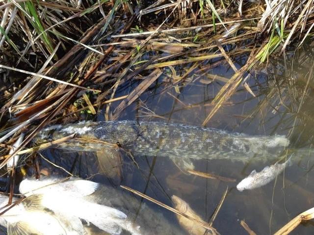 Z dnia na dzień jest coraz więcej śniętych ryb na zalewie Żółtańce w gminie Chełm