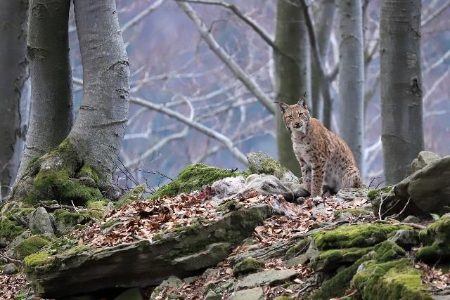 """Pierwszą nagrodę w kategorii """"Fauna i flora"""" zdobył Roman Pasionek za zdjęcie pt. """"Duch Puszczy""""."""