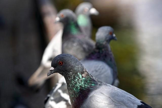 Gołębie na dachu to prawdziwa zmora mieszkańcówGołębie na balkonie - jak je odstraszyć, by nie wróciły
