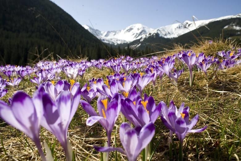Krokusy w Dolinie Chochołowskiej. Kiedy podziwiać krokusy w Tatrach? Kiedy i gdzie najlepiej jechać?